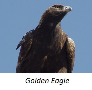 Animal GoldenEagle