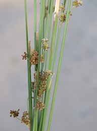 Basketry Juncus