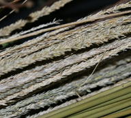 Basketry deergrass